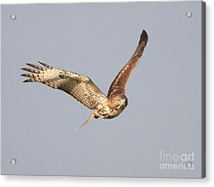 Red Tailed Hawk - 20100101-7 Acrylic Print by Wingsdomain Art and Photography