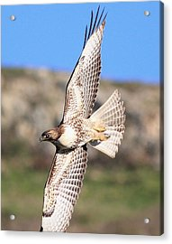 Red Tailed Hawk - 20100101-8 Acrylic Print by Wingsdomain Art and Photography