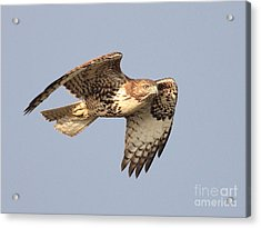 Red Tailed Hawk 20100101-2 Acrylic Print by Wingsdomain Art and Photography
