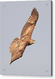 Red Tailed Hawk 20100101-4 Acrylic Print by Wingsdomain Art and Photography