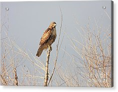 Red Tailed Hawk 20100101-5 Acrylic Print by Wingsdomain Art and Photography