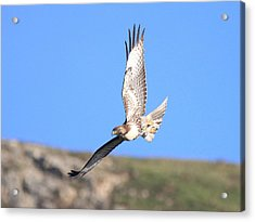 Red Tailed Hawk 20100101-6 Acrylic Print by Wingsdomain Art and Photography
