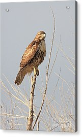 Red-tailed Hawk . 40d11323 Acrylic Print by Wingsdomain Art and Photography