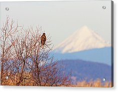 Red-tailed Hawk And Mount Shasta - Northern California Acrylic Print by Ram Vasudev