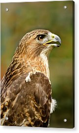 Acrylic Print featuring the photograph Red-tailed Hawk Close-up by Ann Bridges