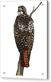 Red-tailed Hawk - Color Acrylic Print