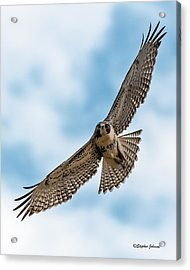 Red-tailed Hawk Coming At Me Acrylic Print
