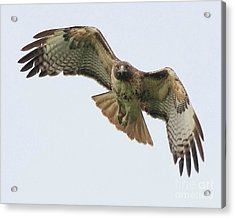 Red Tailed Hawk Finds Its Prey Acrylic Print by Wingsdomain Art and Photography