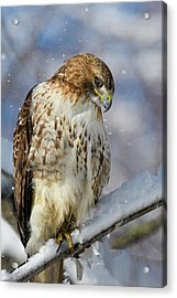 Red Tailed Hawk, Glamour Pose Acrylic Print