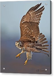 Red-tailed Hawk In Flight Acrylic Print