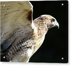 Red-tailed Hawk In Profile Acrylic Print