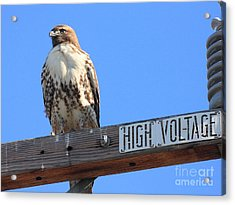 Red Tailed Hawk On High Voltage Acrylic Print by Wingsdomain Art and Photography