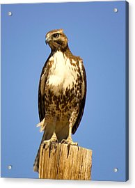 Red-tailed Hawk On Post Acrylic Print