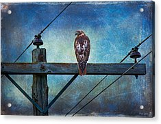 Red-tailed Hawk On Power Pole Acrylic Print