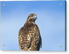 Red-tailed Hawk Perched Looking Back Over Shoulder Acrylic Print