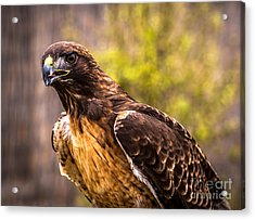 Red Tailed Hawk Profile 2 Acrylic Print