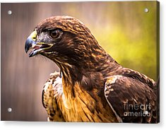 Red Tailed Hawk Profile Acrylic Print