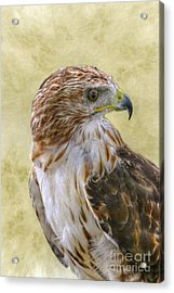 Red Tailed Hawk Acrylic Print