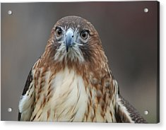 Acrylic Print featuring the photograph Red Tailed Hawk by Richard Bryce and Family