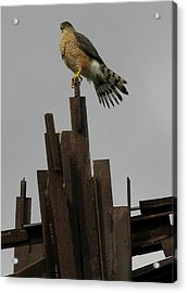 Red-tailed Hawk Acrylic Print by Vari Buendia