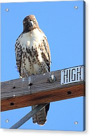 Red Tailed Hawk . What You Lookin At Acrylic Print by Wingsdomain Art and Photography