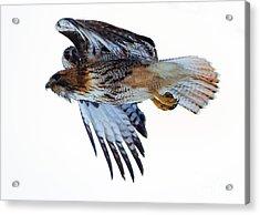 Red-tailed Hawk Winter Flight Acrylic Print by Mike Dawson