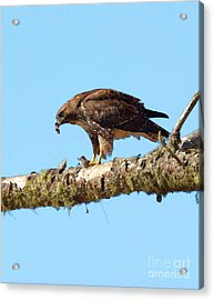 Red-tailed Hawk With Prey Acrylic Print by Betty LaRue