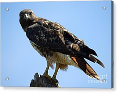 Red-tailed Stare Acrylic Print