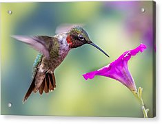 Acrylic Print featuring the photograph Red Throated Hummingbird by Allin Sorenson