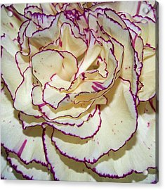 Red Tipped Carnation Acrylic Print