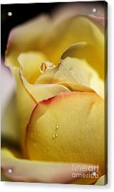 Red Tipped Yellow Rose Acrylic Print
