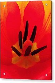 Red Tulip Acrylic Print by Anna Villarreal Garbis