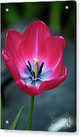 Red Tulip Blossom With Stamen And Petals And Pistil Acrylic Print