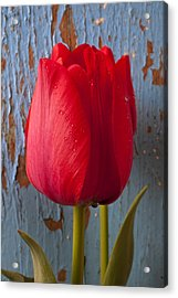 Red Tulip Acrylic Print by Garry Gay