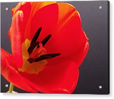 Red Tulip IIi Acrylic Print by Anna Villarreal Garbis