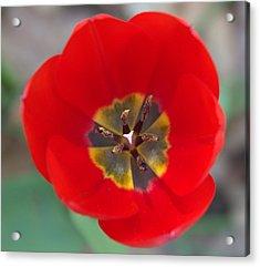 Red Tulip In 3d Acrylic Print by Liz Allyn