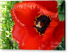 Acrylic Print featuring the photograph Red Tulip by Jean Bernard Roussilhe