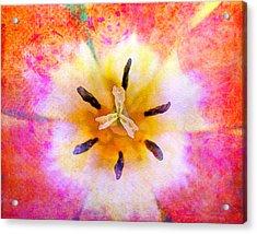 Red Tulip Acrylic Print by Moon Stumpp