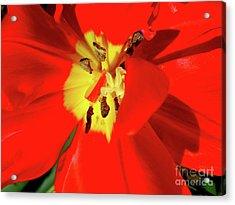 Red Tulip Acrylic Print by Nina Ficur Feenan