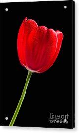 Acrylic Print featuring the photograph Red Tulip No. 1  - By Flower Photographer David Perry Lawrence by David Perry Lawrence