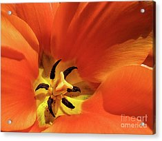Acrylic Print featuring the photograph Red Tulip by Susan Cole Kelly