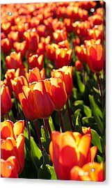 Red Tulips Acrylic Print by Francesco Emanuele Carucci