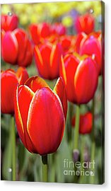 Red And Yellow Tulips I Acrylic Print