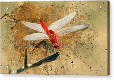 Acrylic Print featuring the photograph Red Veined Darter Dragonfly by Bellesouth Studio