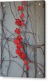 Red Vines Acrylic Print