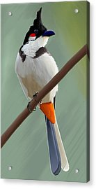Red Whiskered Bulbul Acrylic Print