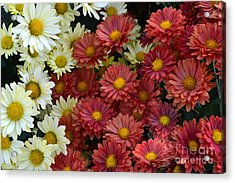 Red White And Yellow Fall Flowers Acrylic Print