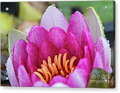 Red White Lotus Flower Pink Acrylic Print