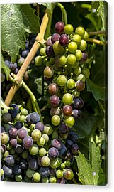 Red Wine Grape Colors In The Sun Acrylic Print by Teri Virbickis