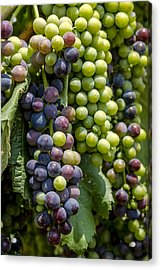 Red Wine Grapes In The Vineyard Acrylic Print by Teri Virbickis